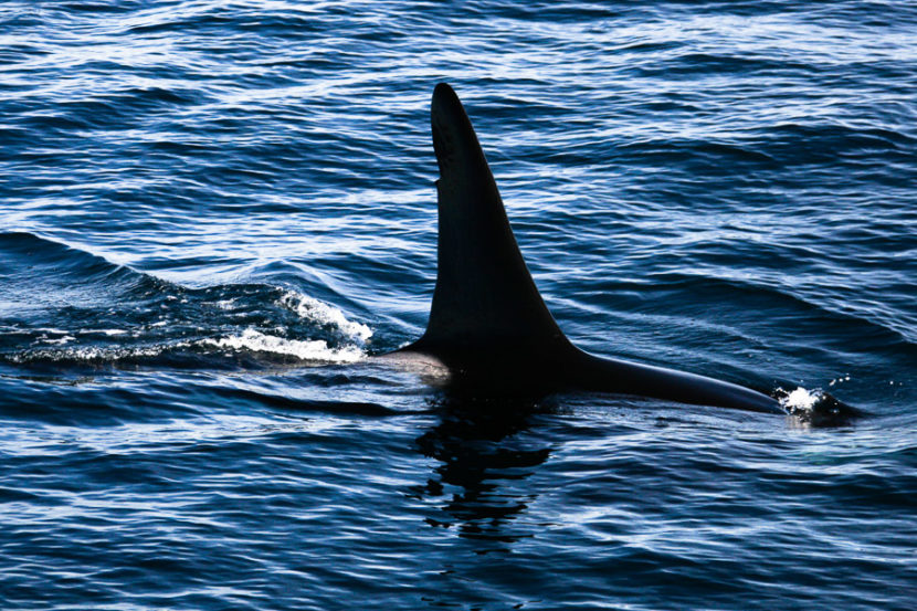 Orca killer whales long beach California